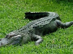 Заплатил за пиво… крокодилом